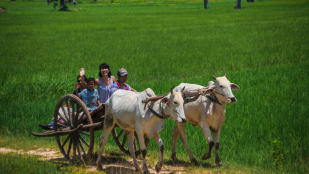 Ride ox-cart around Siem Reap with kids